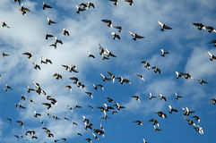 Flying flock of pigeons. With blue sky in background Royalty Free Stock Images