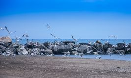 Flying flock of seagulls Lake Michigan royalty free stock photos