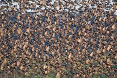 Flying flock of starlings. Birds flying in one direction Stock Photos