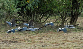 Flying flock of Wattled Ibis Stock Photos