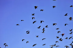 Flying flock of White-faced Whistling Duck, Dendrocygna viduata, Namibia Royalty Free Stock Photo