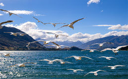 Flying flock of white seagulls with lake and mountains background Stock Photo