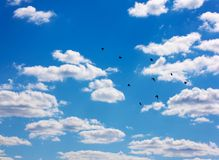 Flying flocks of swifts in sky. Stock Photos