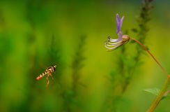 Flying Flowerfly On The Air With Blurred Background. A Flowerfly F;yimg to a violet flower Royalty Free Stock Photography