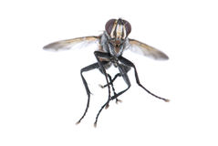 Flying fly. Fly closeup on white backgorund Royalty Free Stock Photo
