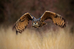 Flying forest bird, Eurasian Eagle Owl, Bubo bubo, flying bird with open wings in grass meadow, forest in the background, Norway Royalty Free Stock Photo