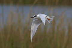 Flying Forster\'s Tern Royalty Free Stock Image
