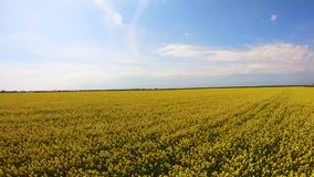 Flying forward over canola field stock video footage