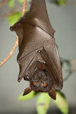Flying fox. (also Pteropus or Fruit bat