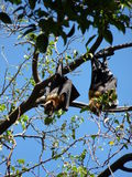 Flying Fox. The Spectacled Flying-fox, (Pteropus conspicillatus) also known as the Spectacled Fruit Bat, lives in Australia's north-eastern west regions of Stock Image