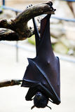 Flying fox. Hangs on a tree branch Stock Photos