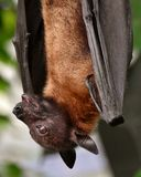 1 flying fox Royaltyfri Bild