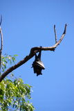 Flying fox. In Australia Stock Photography