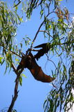 Flying fox. In Australia Royalty Free Stock Image