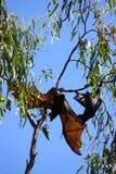 Flying fox. In Australia Stock Photo