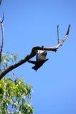 Flying fox. In Australia Stock Image