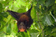 Flying fox bat Royalty Free Stock Images
