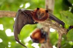 Flying fox bat Stock Photo