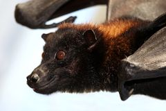 Flying Fox Bat Royalty Free Stock Photo