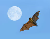 Flying fox bat Stock Photography