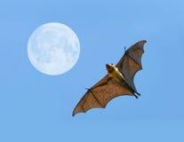 Flying fox bat. Flying fox on blue sky Stock Photography