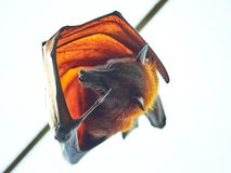 Flying fox bat in zoo. In Vienna Stock Photo