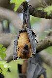 Flying fox Royalty Free Stock Image