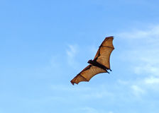 Flying Fox. In the blue sky Royalty Free Stock Photography
