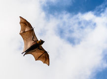 Flying fox on blue sky Stock Photos