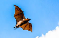 Flying fox on blue sky Royalty Free Stock Photos