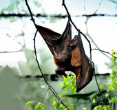 Flying Fox Stock Photos