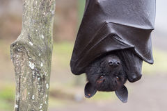 Flying fox close up portrait detail view Royalty Free Stock Images