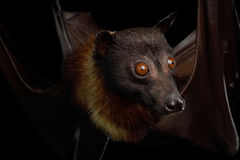 Flying fox. Close-up Portrait of Flying fox or Fruit Bat isolated on Black Background royalty free stock image