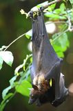 Flying Fox Stock Photography