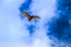 Flying Fox Royalty Free Stock Photo