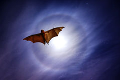 Flying fox at dusk Royalty Free Stock Photography