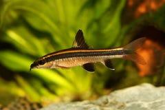 Flying fox Epalzeorhynchos kalopterus Aquarium fish eating algae. Fish Stock Images
