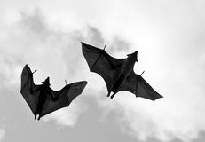 Flying fox  (fighters) in the sky of Sri Lanka Stock Image