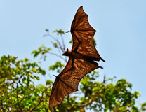 Flying fox. Es in the wild on the island of Sri Lanka Stock Images