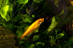 Yellow Black Striped Fish In An Aquarium Royalty Free