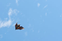 Flying Fox/Fruit Bat Royalty Free Stock Photos