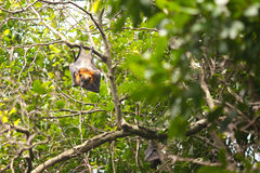 Flying Fox/Fruit Bat Royalty Free Stock Image
