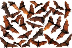 Flying fox fruit bats in the sky Stock Images
