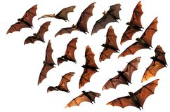 Flying fox fruit bats in the sky. Composite image Stock Photo