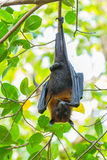 Flying fox Royalty Free Stock Photos