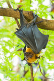 Flying fox Stock Images