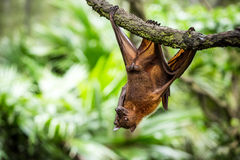Flying fox. Hanging on a tree Stock Image