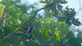 Flying fox hanging on a tree branch and washing up stock video footage