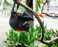 Flying fox. Hangs on a tree branch Stock Photography
