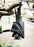 Flying fox Royalty Free Stock Images